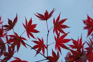 Red maple leaves in autumn season