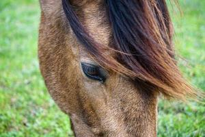 Close up of brown horse grazing in the meadow, horse eye