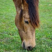 Close up of brown horse grazing in the meadow, horse eye photo