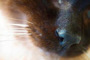 Brown cat nose