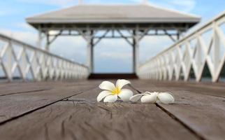 flor de frangipani blanco
