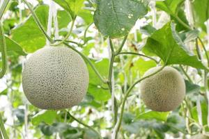 Melons growing on a tree