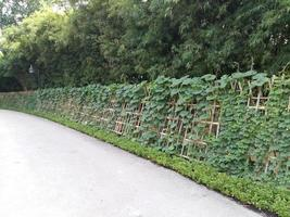 Ivy on bamboo fence
