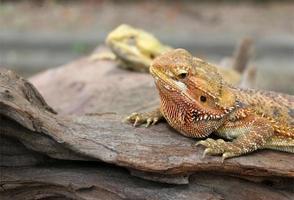 Two lizards on rocks