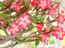 Pink flowers on a tree photo