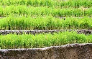 Tiered rice garden