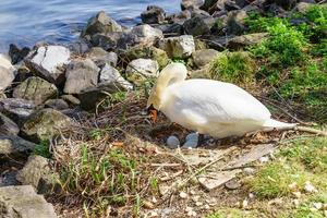 cisne sentado en su nido