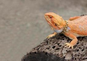Lizard on a rock outside