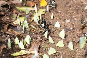 Flock of butterflies on the ground