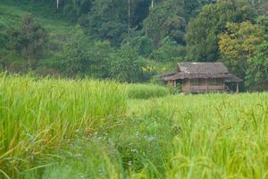 Rice field and building in rural Thailand