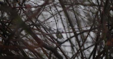 pequeno chapim salta nos ramos densos