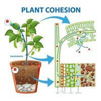 Diagram showing Plant Cohesion vector