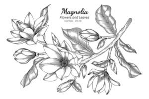 Magnolia flowers and leaves drawing illustration with line art on white background.