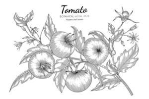 Tomato hand drawn botanical illustration with line art on white background.