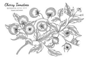 Cherry tomato hand drawn botanical illustration with line art on white background.