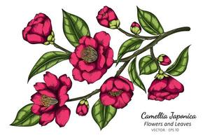 Pink Camellia Japonica flowers and leaves drawing illustration with line art on white background.