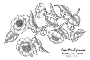 Camellia Japonica flowers and leaves drawing illustration with line art on white background.
