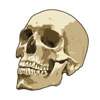 Anatomy Realistic Skull Vector Art