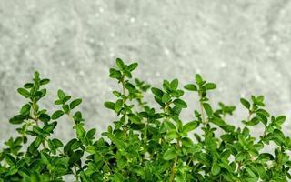 hojas de tomillo contra el hormigón foto