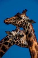 Giraffes under the blue sky