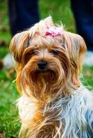 yorkshire terrier en el parque foto