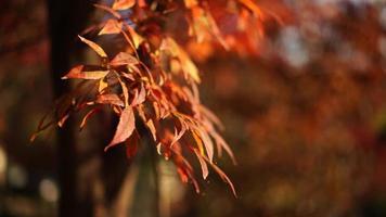 folhas de bordo vermelhas em um fundo desfocado com bokeh