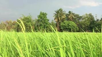 campo de arroz verde com vento