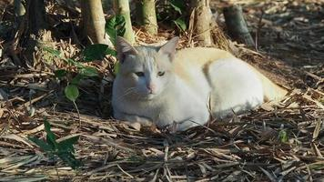 A yellow white cat sunbathing on the dry bamboo leaves in the bamboo forest.