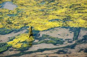 Algae in swamps