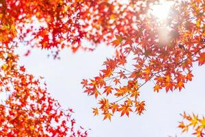 Beautiful red maple leaves