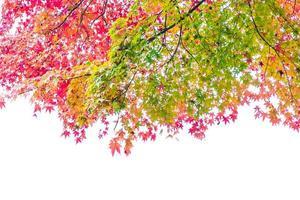 hermosas hojas de arce rojo