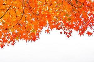 hermosas hojas de arce rojo foto