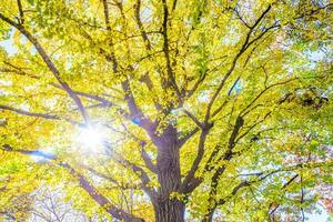 Yellow ginkgo tree in Tokyo photo