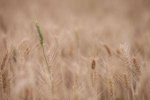 campo de granja de cebada foto