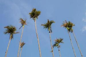 Betel nut tree with clear sky background photo