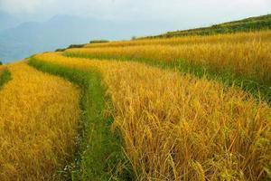 primer plano, de, un, campo de arroz foto