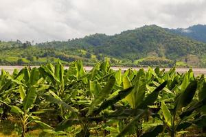 Banana trees near water and mountains