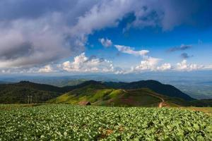 Green cabbage field on a mountain