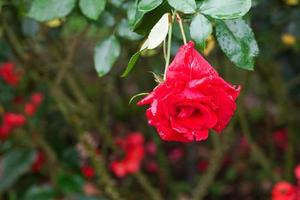 Rose blooming in the garden
