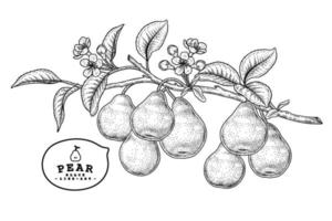 vector bosquejo pera fruta dibujado a mano vector botánico