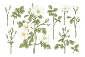 Set of White Dog rose or Rosa canina flower Hand Drawn Botanical Illustrations vector