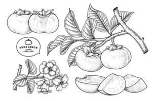 conjunto de elementos dibujados a mano de fruta de caqui fuyu ilustración botánica vector