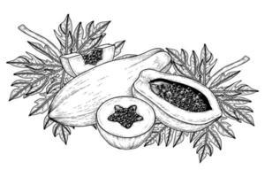 conjunto de fruta de papaya elementos dibujados a mano ilustración botánica vector