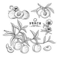 vector dibujo melocotón fruta dibujado a mano conjunto decorativo botánico