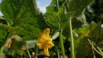 flores amarelas de pepinos
