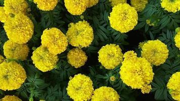 flores de caléndula en el jardín video