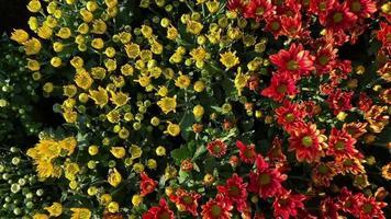 flores coloridas de crisântemo video