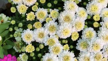 flores blancas en el jardin video