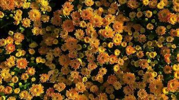 flores de crisântemo amarelo video