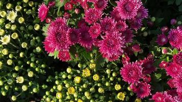 flores de crisantemo en el jardín video